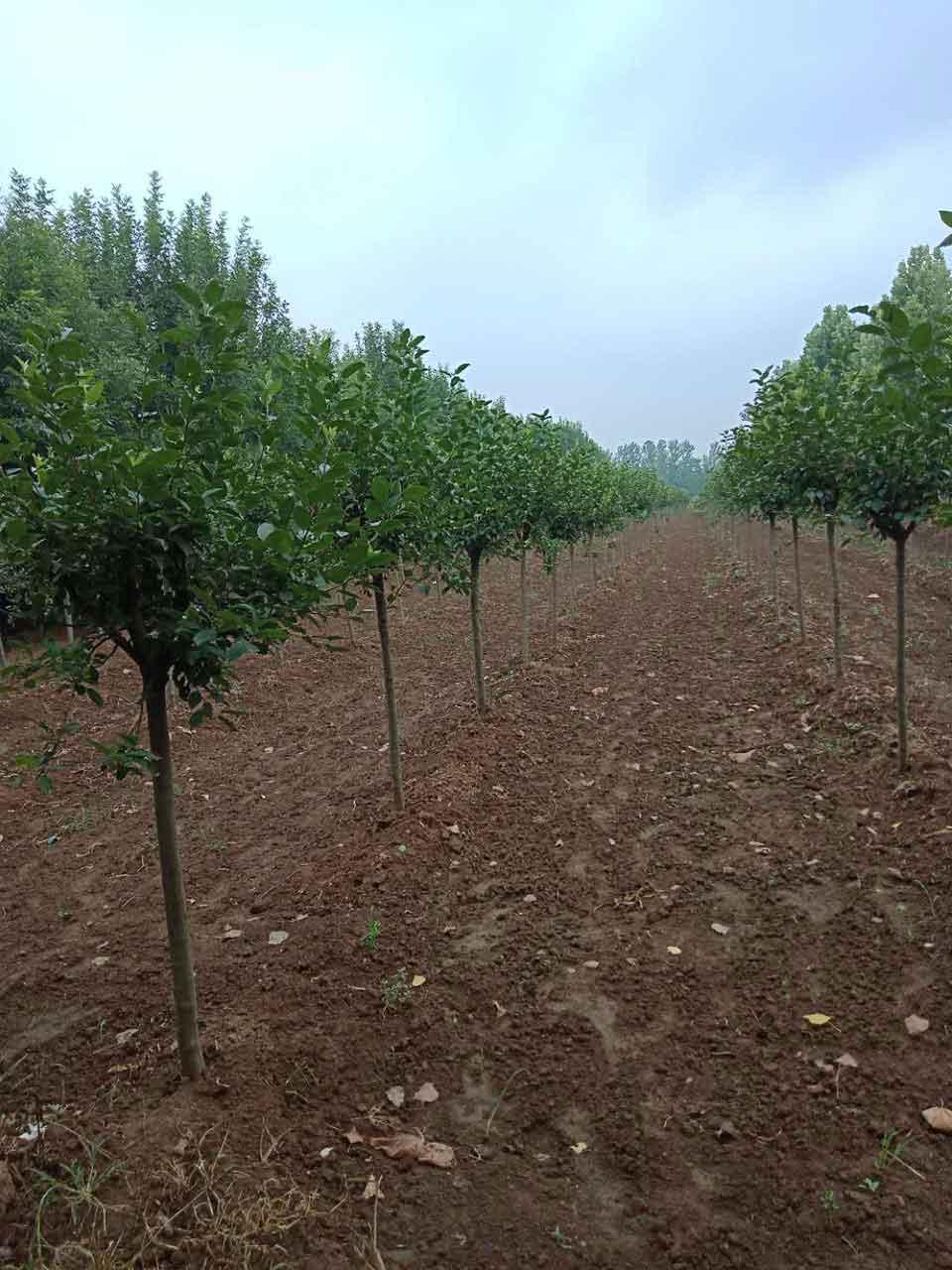 想要優惠的銀杏種植就來天安苗木|湖北銀杏苗圃