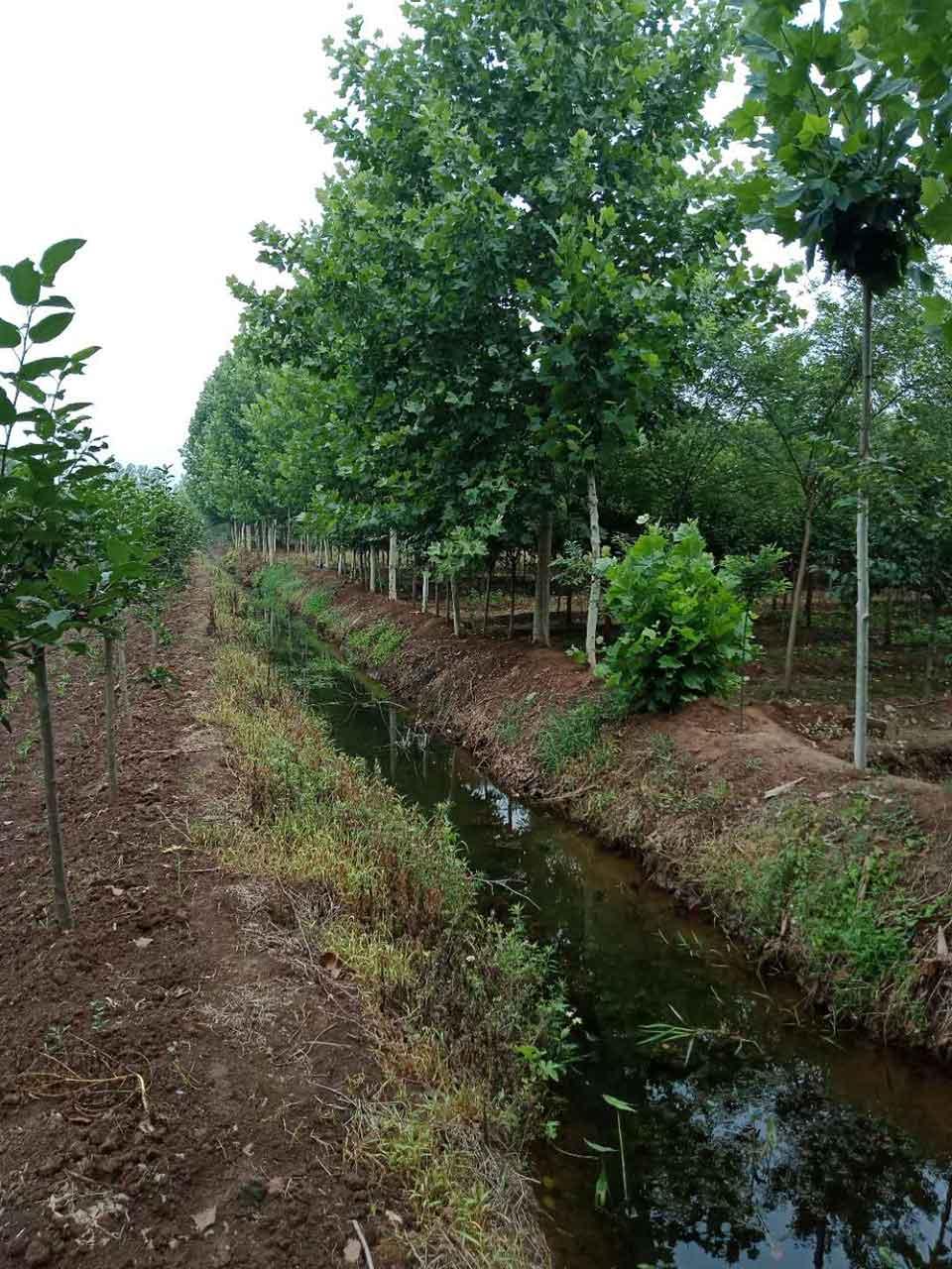 供应山东无病虫害的各种苗木种植_供销法桐种植