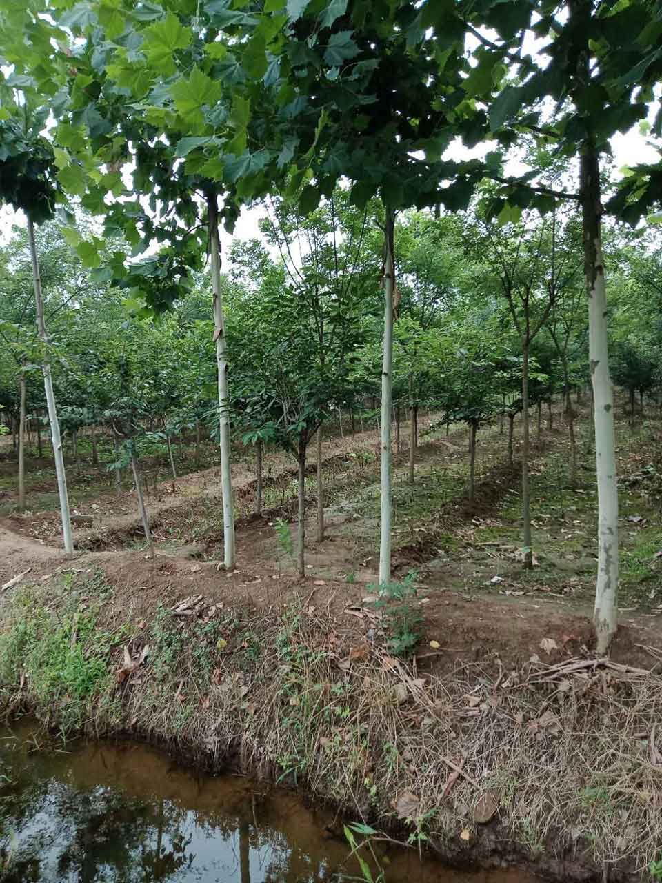 山东哪里有出售银杏种植 河南银杏苗圃