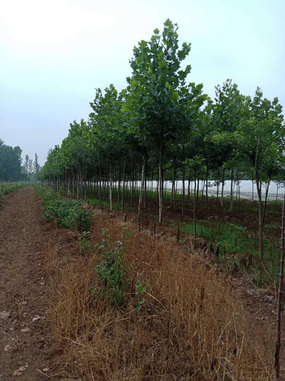 大量出售山東銀杏種植-浙江銀杏苗圃