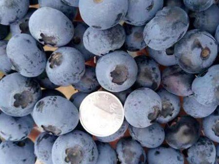 的新鲜蓝莓-沈阳物超所值的新鲜蓝莓批售