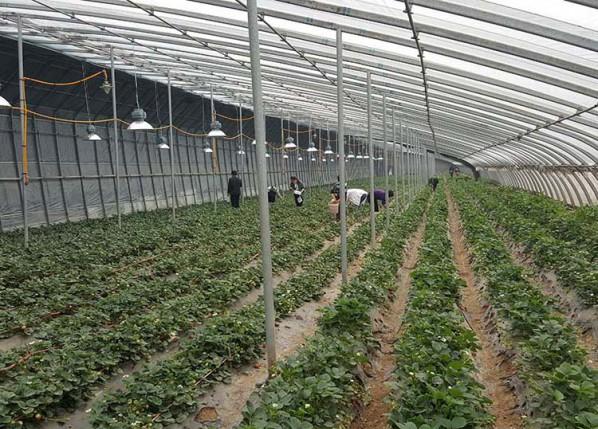 草莓大棚-山东报价合理的草莓大棚