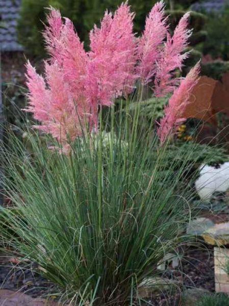 优质的粉红蒲苇提供商当属地邦农业,哪里有粉红蒲苇