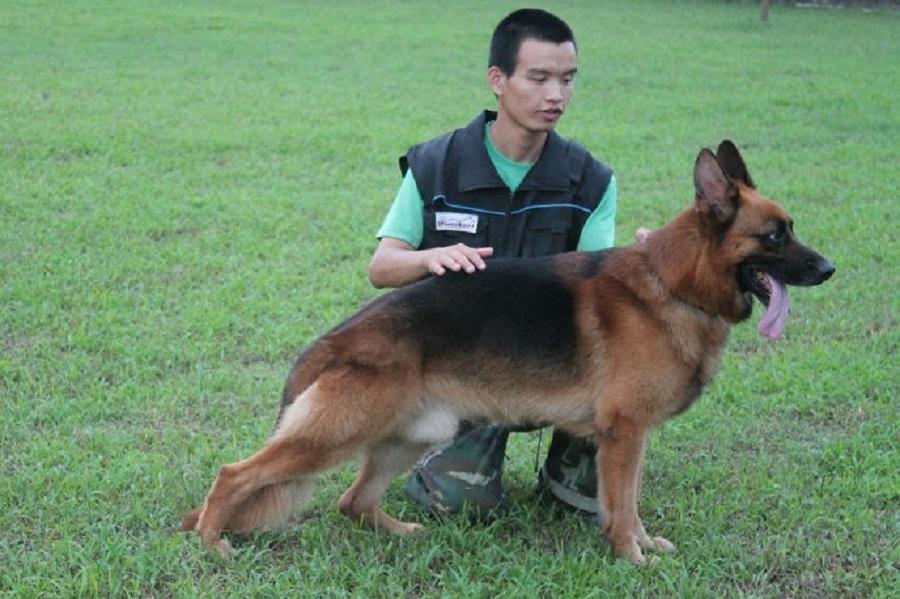惠州宠物狗,惠州大型宠物狗基地,精细繁殖,犬类托管寄养 行业资讯-惠州市惠城区鸿威犬舍