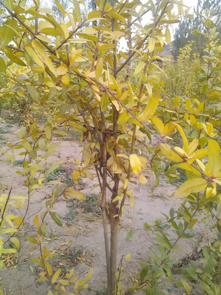 石榴树苗种植基地,软籽石榴苗批发,兴农石榴树苗培育中心