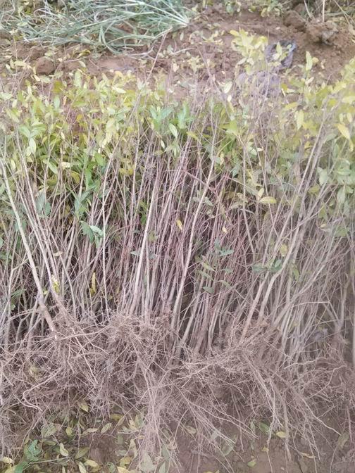 兴农石榴基地树苗批发优质树苗软籽石榴树苗基地
