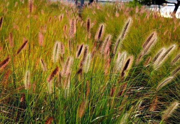 哪家火焰狼尾草成活率高_潍坊知名的火焰狼尾草提供商