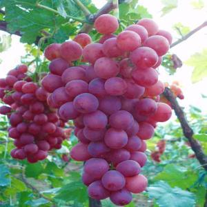 蜜光葡萄苗供应