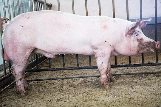 大白种猪-好的市场价格_大白种猪