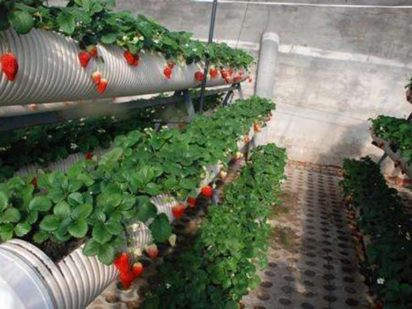 美丽嗨购+草莓立体种植槽//垂直绿化种植槽+批发+价格+供应