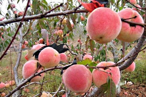 冬桃顺邦种植专业合作社专业供应-冬桃哪家便宜