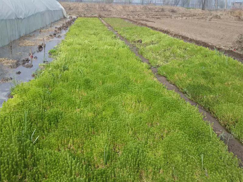 五色草种苗生产厂家-五色草种苗哪里有
