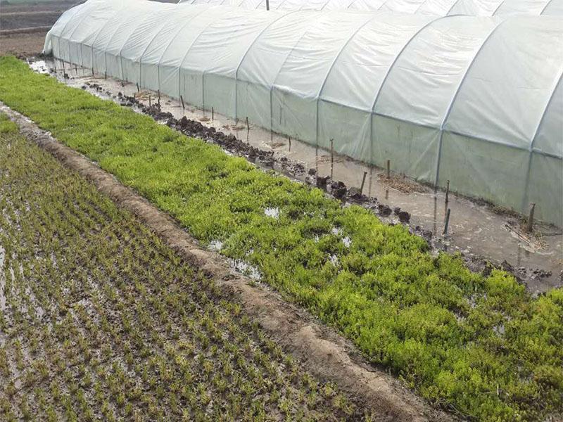 五色草种苗采购_开封地区实惠的五色草种苗