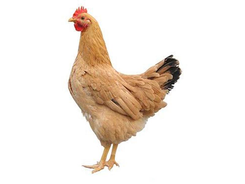 专业的淘汰鸡批发商,当属河南益隆|散养土鸡蛋哪里买