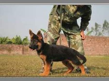 怎么训练狗狗在固定地点大小便 行业资讯-惠州市惠城区鸿威犬舍