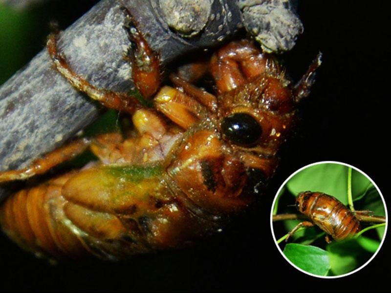 哪里有提供口碑好的金蝉|蝉蛹的养殖技术