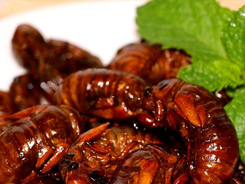 菏泽秋蝉养殖|想买有品质的金蝉,就到江苏馨野