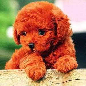 辽宁优惠的泰迪狗 北京泰迪狗多少钱一只