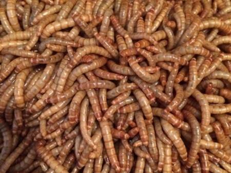黄粉虫养殖技术-黄粉虫-黄粉虫养殖技术学习