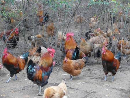 生态土鸡-潍坊口碑好的生态土鸡供应