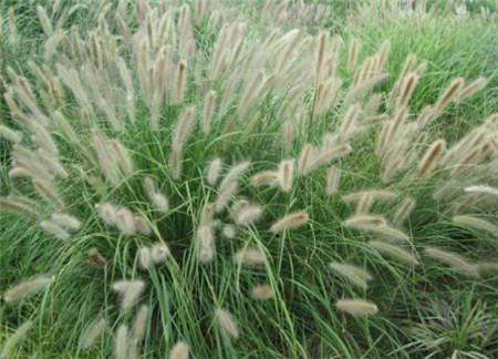 狼尾草种植基地