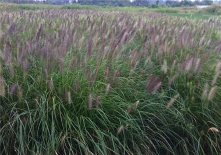 紫穗狼尾草|敬春花卉苗木供应实惠的 紫穗狼尾草