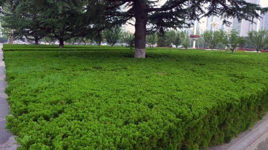 白蜡树批发-想要优良的绿化苗木就来振华苗木