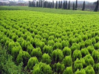 山东流苏树价格-供应山东抢手的绿化苗木