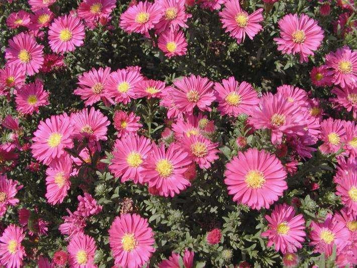盆苗宿根荷兰菊