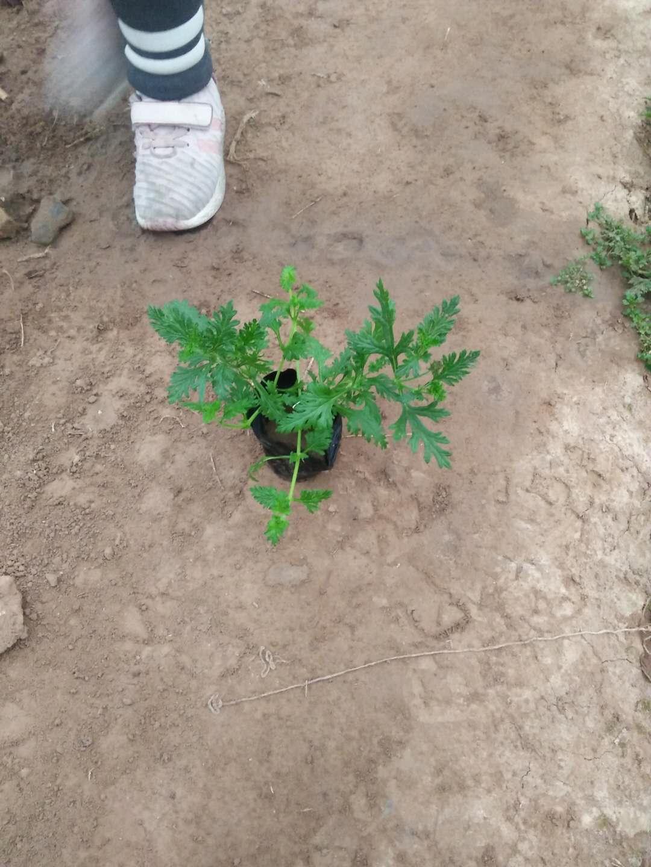 美女樱的种植与管理请咨询青州俊霖花卉-青州俊霖绿化苗木有限公司