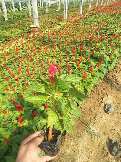 河北雞冠花-供應濰坊口碑好的雞冠花