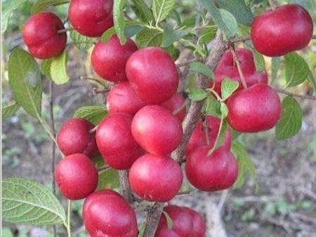 购买优质本溪钙果苗就找本溪忠成家庭农场