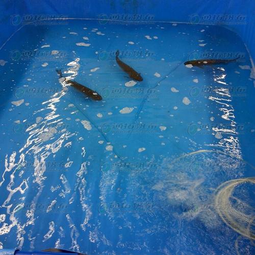 无支架折叠帆布鱼池定做_防渗PVC刀刮布_水产养殖池材料厂