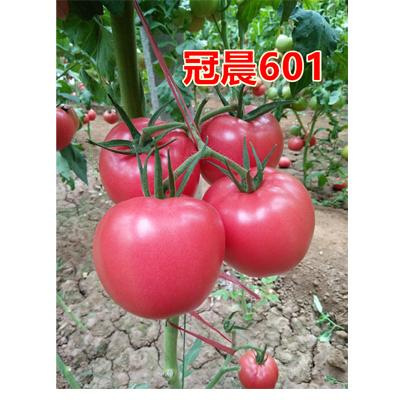 【是时候展现实力了】秋延西红柿种子价格、高产西红柿种子批发