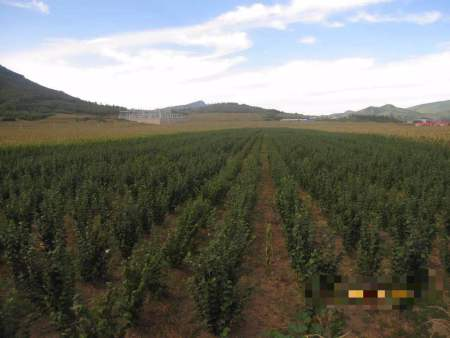 产量好的大果榛子苗|口碑好的大果榛子苗优选本溪忠成家庭农场