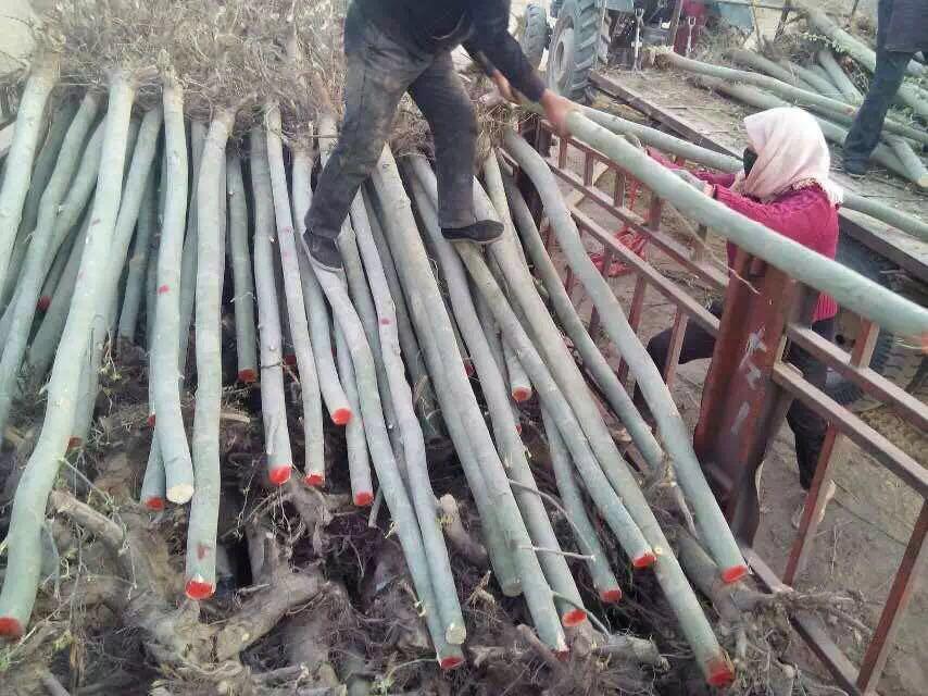 新疆杨树苗-想要易种植的新疆杨就来海龙苗木