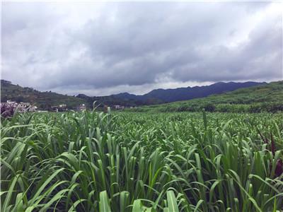 产量高的养鹅牧草-儋州牧春菌草专业批发高产牧草品种