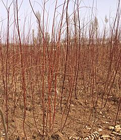 紅柳樹苗價格-品種好的新疆楊出售