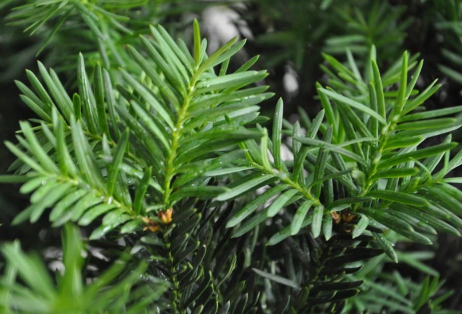 曼地亚红豆杉哪家好-哪里能买到成活率高的曼地亚红豆杉