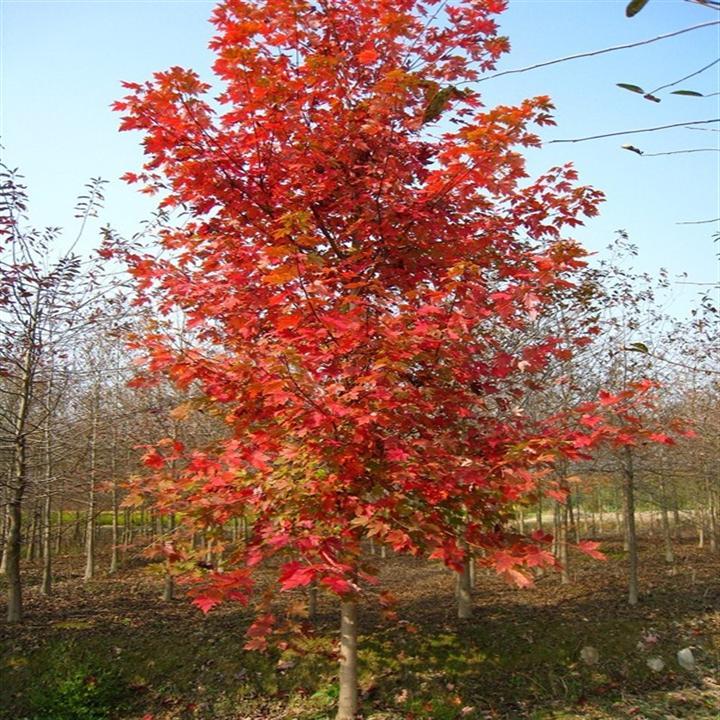美國紅楓價格-新顏苗木專注美國紅楓批發