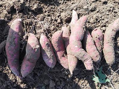 济薯26采购_廊坊质量好的济薯26哪里有供应