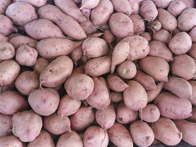 龙薯订购_河北销量好的龙薯