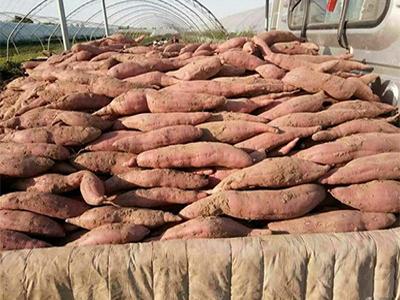 江苏龙薯订购-高品质龙薯推荐