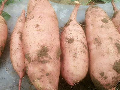 龍薯訂購 廊坊具有口碑的龍薯供應