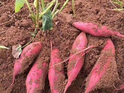 普薯32订购-来坤益红薯种植,买实惠的普薯32