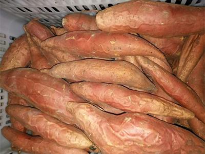 烟薯25生产厂家-坤益红薯种植供应实惠的烟薯25