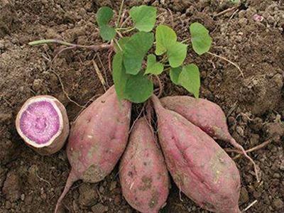 紫薯价位-紫薯哪里有供应