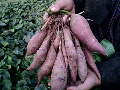 紫薯代理-实惠的紫薯哪里有