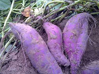 山东紫薯采购-口碑好的紫薯市场价格
