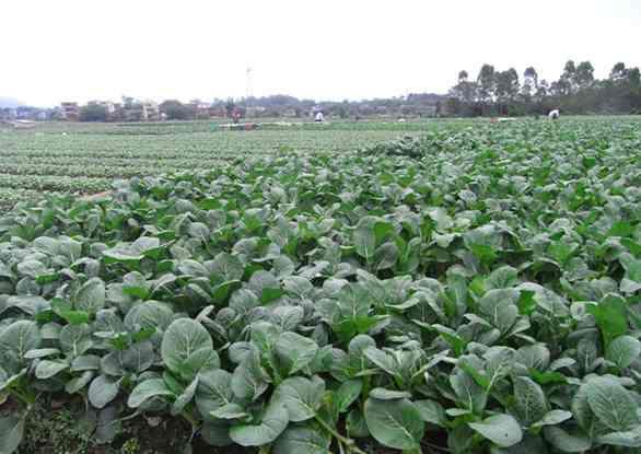 口碑好的蔬菜,深圳市欣美农副产品配送供应-可口的蔬菜基地